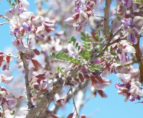Ironwood Blossom